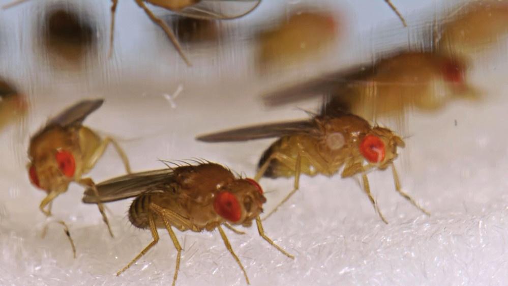 life-science Karriere Services, Foto: (c) Markus Riedl, Veterinärmedizinische Universität Wien, Drosophila (Fruchtfliegen), aufgenommen im Februar 2014.