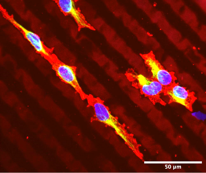 UpNano_News_Cornea, for applications with corneal endothelial cells © Xpect INX